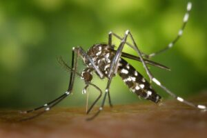 An Aedes mosquito perched on skin
